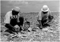 Figure 5. Digging for Asaphis, Kariatebike, Abemama (photo by F. Thomas).