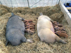 Fig. 14. farrowing. Photo by author.