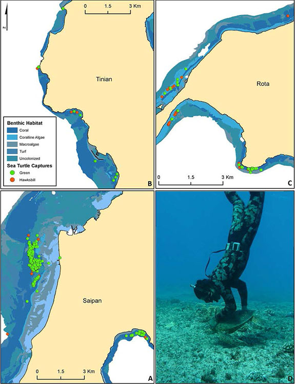 Figure 2. Clockwise from bottom left: nearshore capture locations in relation to benthic habitat of (A) Saipan, (B) Tinian, and (C) Rota, and (D) an image of the free diver hand capturing a juvenile green turtle. Green and orange dots depict capture locations for green and hawksbill turtles, respectively. Shading indicates benthic habitat.