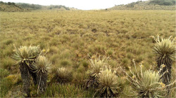 "Figure 1. Downhill view of the studied peatland in northeast Columbia. The bottom of the picture shows the characteristic ""frailejones"" (Espeletia sp.) of the paramo. These are indicating the borderline between uplands and the peatland near the coring sites."