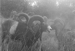 Figure 1. Three mature mouflon rams detected by infrared camera traps at the Kahuku Unit of Hawai'i Volcanoes National Park, 28 August 2015.