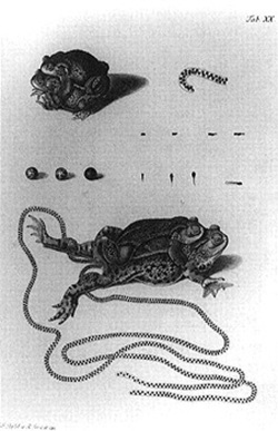 Figure 3. A.J. Rösel von Rosenhof, Frogs Mating and Laying Eggs, from Historia Naturalis.
